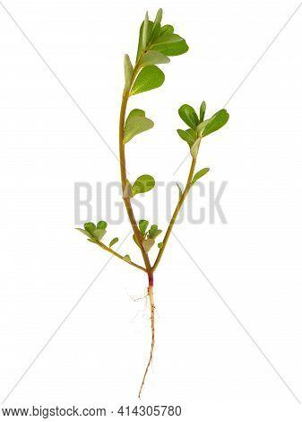 Purslane Plant With Root Isolated On White, Portulaca Oleracea