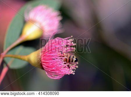 Bee Abdomen Poking Out Of A Pink Blossom Of The Australian Native Blue Gum, Eucalyptus Leucoxylon Eu