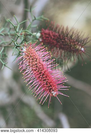 Pink Inflorescence Of The Western Australian Native Bottlebrush Grevillea, Grevillea Paradoxa, Famil