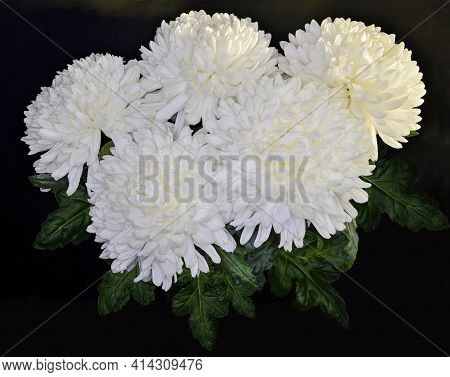Vintage Floral Design - White Chrysanthemum Flowers Bouquet With Green Leaves Close Up, On Black Bac