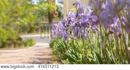 Purple Irises Bloom Close-up In The Garden. Atmospheric Spring Floral Background. Solar Banner With