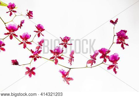Sprig Of Beautiful Dainty Pink Oncidium Orchid Flowers