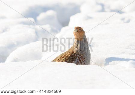 Grey Partridge On White Snow, Bright Light