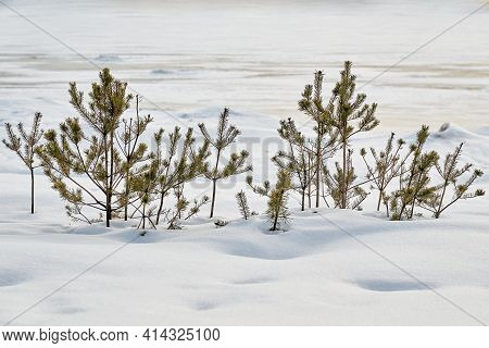 Abstract Winter Landscape With Small Green Bushes Of Spruce Or Pine Trees On White Snow In A Snowdri