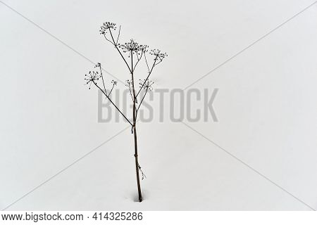 One Isolated And Abstract Form Of Dry Dark Grass Against The Backdrop Of White Snow