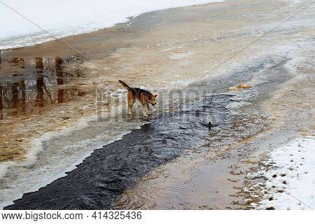 One Dog Stands On A River Spring Ice Barking At A Duck In The Water