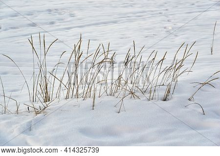Abstract Group Of Dry Wild Grass Of Yellow Color In Snowdrift Against The Background Of White Snow
