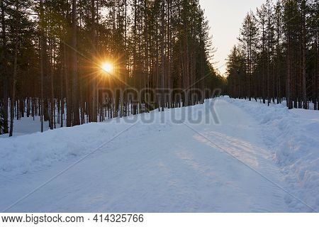 Beautiful Morning Landscape Of Pine Forest With Sunrise Between Tree Trunks And With Snow-covered Ro
