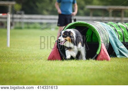 Border Collie Is Running In Agility Tunel.  Amazing Evening, Hurdle Having Private Agility Training