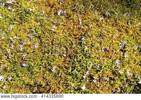 Thick Carpet Of Moist Green Moss On The Ground