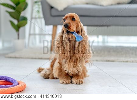 English cocker spaniel dog holding toy in mouth while sitting on floor at home