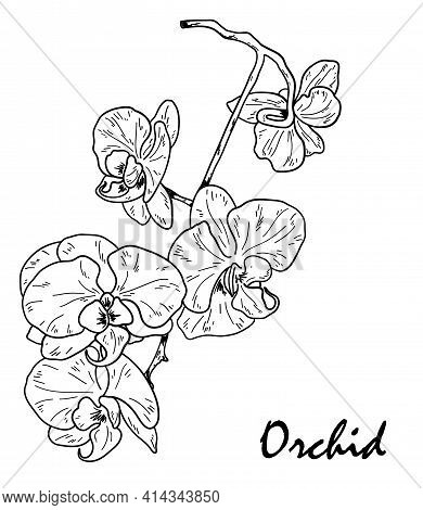 Orchid Flower. Floral Botanical Flower. Hand Drawn Black Outline Bouquet With Orchid