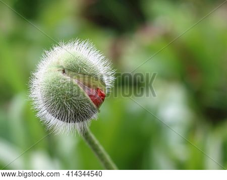 Hairy Green Oriental Poppy Bud With Red Petals Starting To Bloom In Springtime. Papaver Orientale Fl