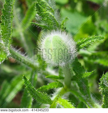Fluffy Papaver Orientale Or Oriental Poppy Bud Against Hairy Finely Dissected Leaves. Springtime Bac