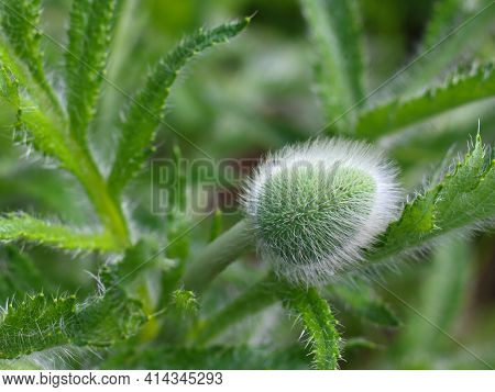 Closed Hairy Oriental Poppy Or Papaver Orientale Bud Against Blurred Green Background. Springtime Se