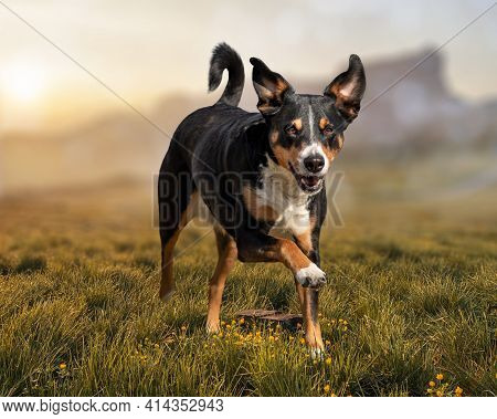 Running Dog On Grass In Spring, Appenzeller Sennenhund