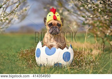 Funny French Bulldog Dog Sitting In Large Easter Egg Wearing Costume Chicken Hat