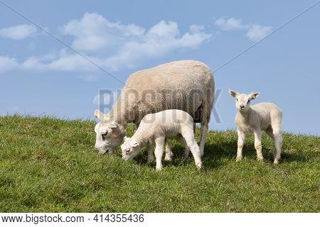 Sheep With Two Little Cute Lambs At Dutch Dike Near Lake Ijsselmeer