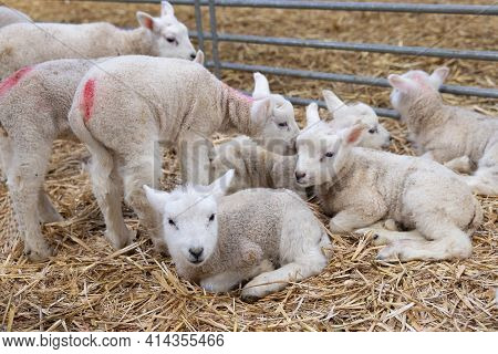 Flock Of Newborn Little Cute Lambs In Dutch Barn