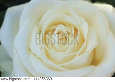 Close Up Of A Single White Rose In A Flower Arrangement