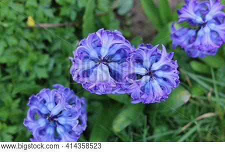 Beautiful Rare Image Of Blue Hyacinths With Foliage Taken From Above