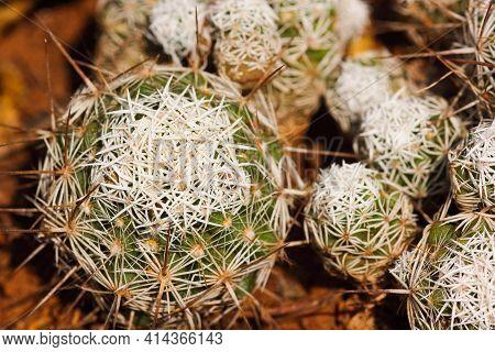 White Thorny Thimble Cactus Plant Cluster (mammillaria Gracilis Fragilis), Pretoria, South Africa