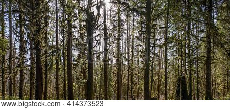 Panorama Of The Sun Shining Through The Temperate Rainforest Of The Hoh Rainforest In Olympic Nation