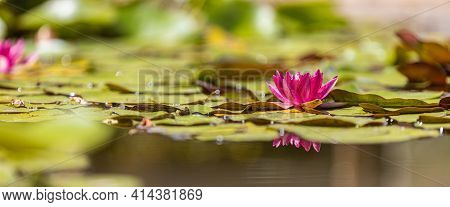 Beautiful Blooming Red Water Lily Lotus Flower With Green Leaves In The Pond. Sunny Water Surface Of