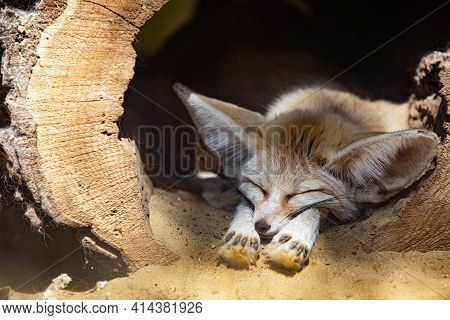 Sleeping Baby Fennec Fox Or Dessert Fox. Cute Animal Or Wildlife Portrait