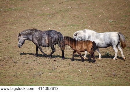 Three Handsome Ponies Grazing At A Horse Farm, Stallion, Mare And Colt.