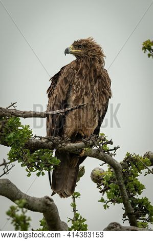 Tawny Eagle On Twisted Branch Staring Left