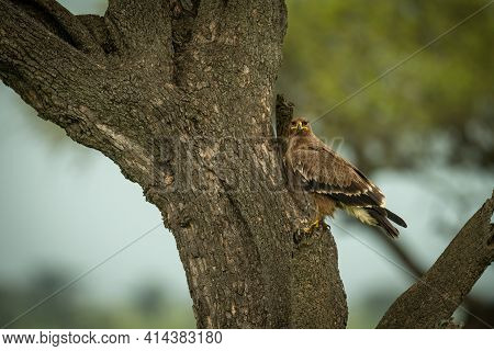 Tawny Eagle On Tree Trunk Watching Camera