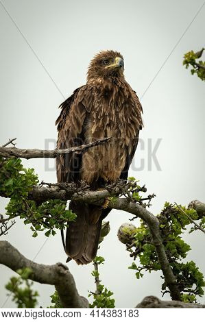 Tawny Eagle On Twisted Branch Facing Right