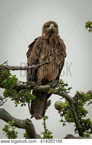 Tawny Eagle On Twisted Branch Looking Ahead