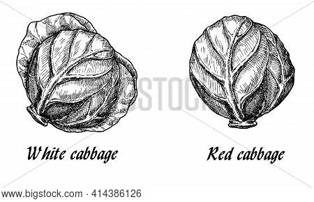 Image Of Purple And White Cabbage Heads In Sketch Style On Background With Line-art Retro-style Vege