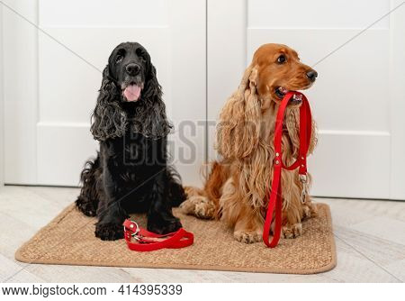 English cocker spaniel dogs with red leashes are waiting for walk while sitting on door mat at home