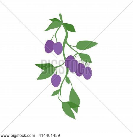 Fruit Plum Branch. Stock Vector Illustration Isolated On White Background. Hand Drawn Plums Hanging