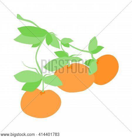 Fruit Tangerine Branch, Illustration Isolated On White Background. Hand Drawn Citrus Hanging On Bran