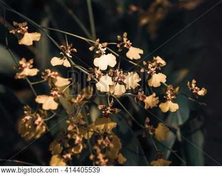 Oncidium Orchid Flowers In Soft Bokeh Background. Shallow Dept Of Field. Beauty In Nature Background