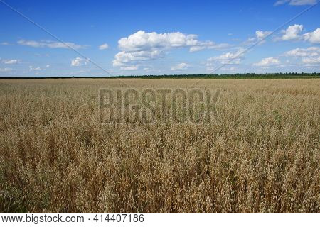 Blue Sky Over A Vast Field Of Ripe Oats. Farm Land. Picturesque Area. Oat Cereal Fields With Blue Sk