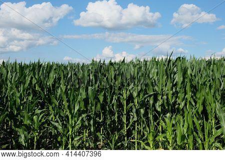 A Cornfield Under A Clear Blue Sky. Agricultural Landscape. Corn Plants.