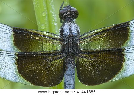 Blue Dragonfly Close-Up
