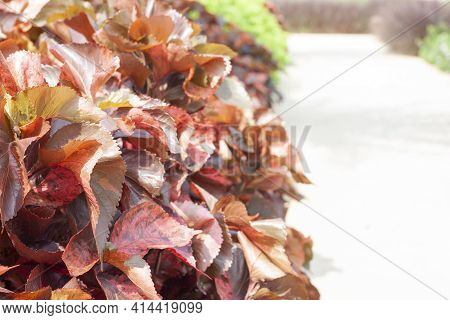 Painted Copperleaf, Copper Beef Steak, Copper Leaf Or Jacob's Coat With Lighting Of Sunshine At Besi