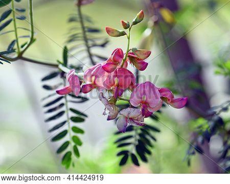 Colorful Peach Pink Flowers Of Australian Indigo, Indigofera Australis, Family Fabaceae. Widespread