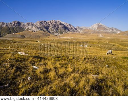 Stunning Landscape With Grazing Cows In The Meadows Of Campo Imperatore Valley, Gran Sasso National
