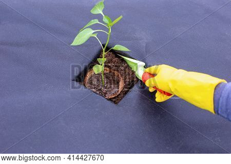 Instructions For Planting Pepper Seedlings On Spunbond, Cutting Out A Hole For Seedlings.step 8
