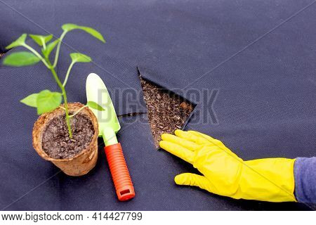 Instructions For Planting Pepper Seedlings On Spunbond, Cutting Out A Hole For Seedlings.step 3