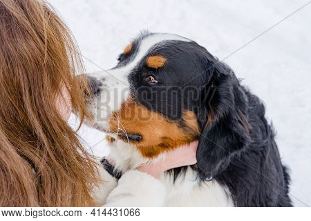 A Purebred Bernese Mountain Dog Puppy On A Winter Walk With Its Owner. Close Up Outdoor Portrait. Th
