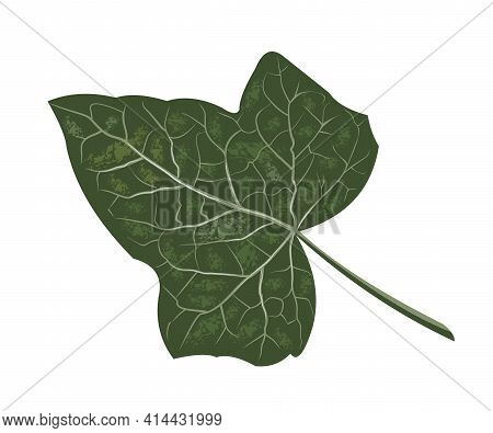 Realistic Ivy Leaf, Botanical Name Hedera, Vector Isolated On A White Background, Creeping Plant Wit
