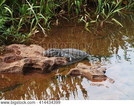Crocodile On The Rio Iguazu River, Brazil. High Quality Photo